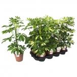 Schefflera arboricola 13cm