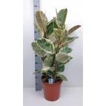 Ficus elastica tineke 27cm