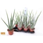 Aloe Aaloe 15cm