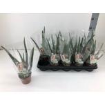 Aloe Aaloe 10,5cm