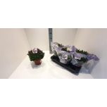 Aster Aster 17cm
