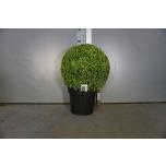 Buxus Pukspuu 26cm