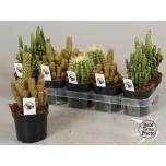 Cactus Kaktus 12cm