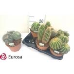 Cactus Kaktus 14cm