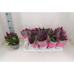 Celosia 12cm Mätashari Intenz Purple