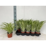 Chlorophytum Rohtliilia Variegatum 12cm