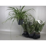 Chlorophytum Com Vittatum Hang 19cm