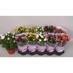 Chrysanthemum Krüsanteem 12cm Double mix