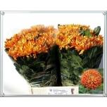 Chrysanthemum Krüsanteem Astro