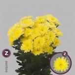 Chrysanthemum Krüsanteem Baltica Yellow