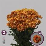 Chrysanthemum Krüsanteem Bartoli
