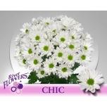 Chrysanthemum Krüsanteem Chic