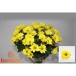Chrysanthemum Krüsanteem Copa