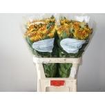 Chrysanthemum Krüsanteem Fuego