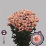 Chrysanthemum Krüsanteem Grand Salmon