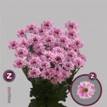 Chrysanthemum Krüsanteem Katinka