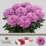 Chrysanthemum Krüsanteem Ksenia