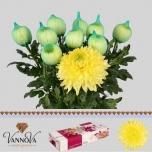 Chrysanthemum Krüsanteem Magnum Yellow