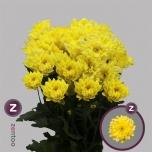 Chrysanthemum Krüsanteem Pina Colada Yellow