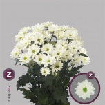 Chrysanthemum Krüsanteem Prosecco