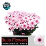 Chrysanthemum Krüsanteem Royce Lovely