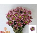 Chrysanthemum Krüsanteem Saba