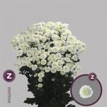 Chrysanthemum Krüsanteem Stallion White