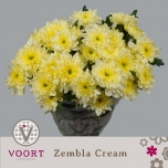 Chrysanthemum Krüsanteem Zembla Kreem