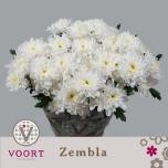 Chrysanthemum Krüsanteem Zembla põõsas