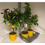 Citrus Lemon Sidrunipuu 21cm