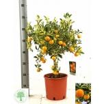 Citrofortunella Tsitrusepuu 22cm