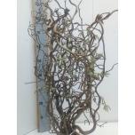 Corylus 70cm tk