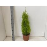 Cupressus Küpress Wilma 21cm