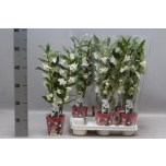 Dendrobium 12cm Apollon