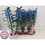 Dendrobium Nobile Sinine 12cm