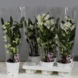 Dendrobium Nobile 12cm