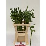 Dracaena Bamboo 70cm Draakonipuu oks tk (pakis 10 tk)