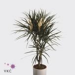Dracaena Draakonipuu Marginata 11cm