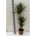 Dracaena Draakonipuu Marginata 21cm
