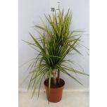 Dracaena marginata 17cm Draakonipuu Sunray