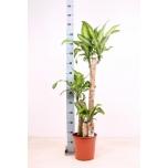 Dracaena Draakonipuu Massangeana 24cm