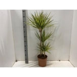 Dracaena Draakonipuu Marginata Sunray 21cm