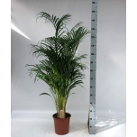 Dypsis 24/130