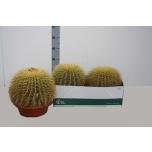 Echinocactus Siilkaktus 27cm
