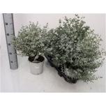 Eucalyptus Eukalüpt Gunnii 17cm