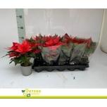 Euphorbia Jõulutäht 10,5cm MIX