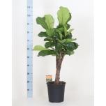 Ficus Lyrata 24cm