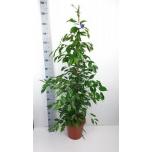 Ficus Viigipuu 27cm Exotica