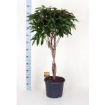 Ficus Viigipuu 30cm binnendijkii Amstel King