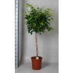 Ficus Viigipuu 30cm Exotica